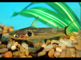 Asian Sun Catfish