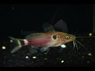 Two Spot Catfish