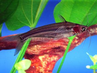Pangasius Dwarf Catfish