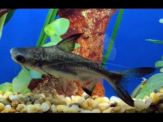 hifin Siamese Shark