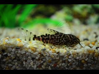 Featherfin Sydnodontis