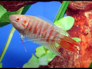 Albino Red Paradise Fish