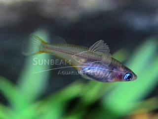 Sulawesi Ricefish Killiefish (male)