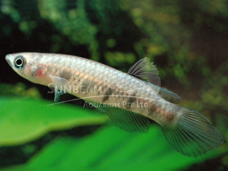 Sixbar Panchax Killiefish (Male)