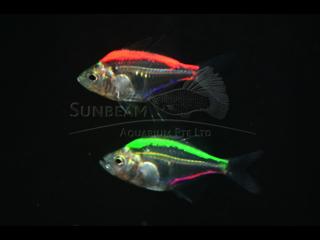 Art Double Glass Fish