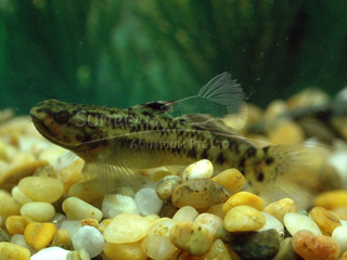 Fairy Fin Goby