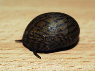 Tiger Dwarf Snail