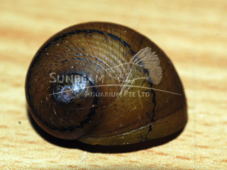 Assorted O Ring Snail