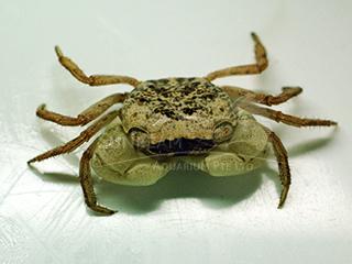 Batik Crab