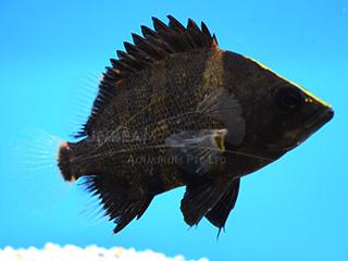 Papua Tiger Fish