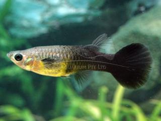 black tail female guppy