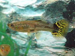 leopard tail female guppy