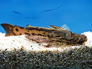Columbian Wood Catfish