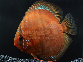 Red Inca Heckel Discus
