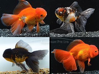 Oranda Thai Assorted