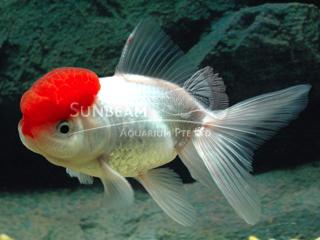 Oranda Red Cap