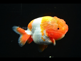 Ranchu Red & White