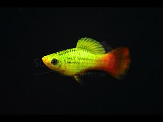 Multicolor Platy Variatus