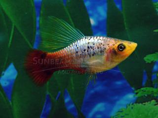 Multicolor Hi-fin Platy Variatus Pair