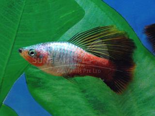 Rainbow Hifin Platy Variatus Pair