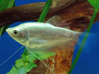 Silver Gourami