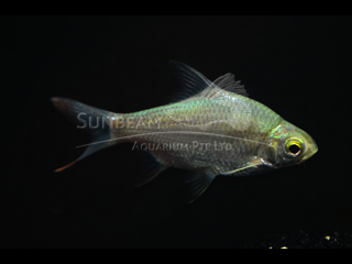 Tinfoil Red Tail Barb
