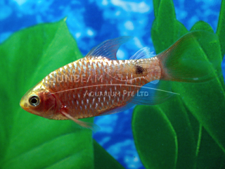 Rosy Long Fin Barb