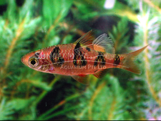 Red Ocellated Barb