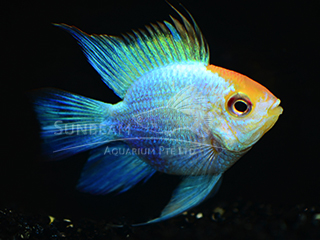 Ram Balloon Golden Head Cichlid