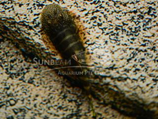 Borneo Sucker Zebra Loach