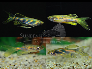 Assorted Long Fin Danio