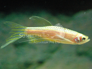 Zebra Golden Long Fin Danio