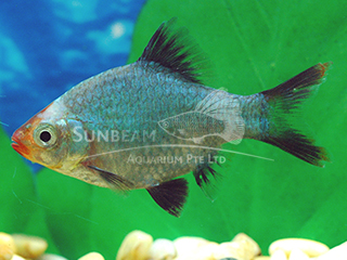 Tiger Platinum Green Barb