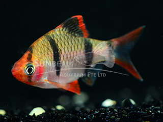 Tiger Red Belly Barb