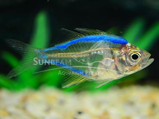 Art Blue Glass Fish