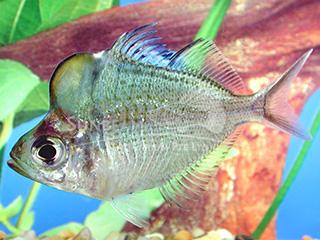 Humphead Glass Fish