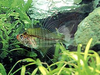 Siamese L/Fin Glass Fish