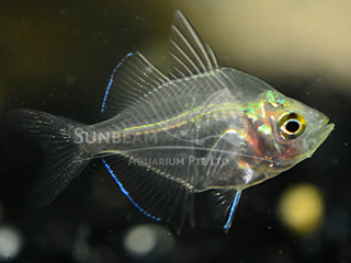 Indo Glass Fish