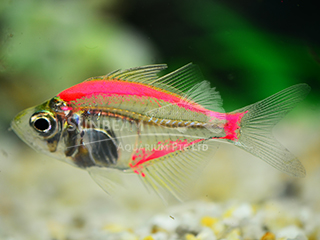 Art Red Glass Fish