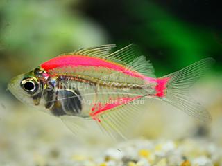 Art Red Glass Fish