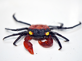 Super Red Carnival Crab