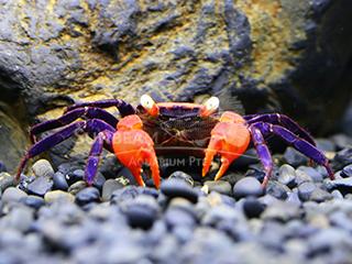 Vampire Crab
