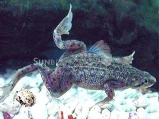 Aquatic Dwarf Frog