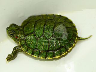 Green Terrapin Turtle