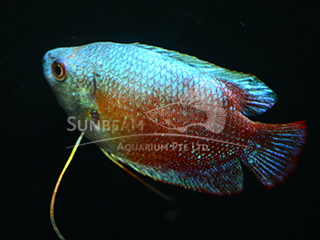 Dwarf Gourami Rainbow Male