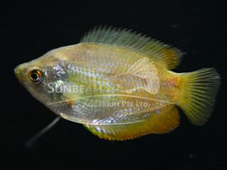 Dwarf Gourami Rainbow Female