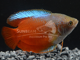 Dwarf Gourami Red Neon Male