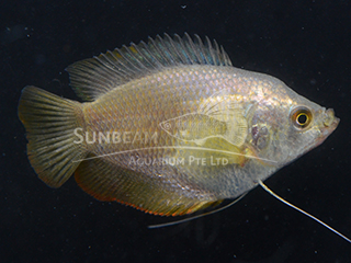 Dwarf Gourami Red Neon Female