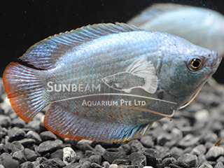 Dwarf Gourami Sky Blue Male