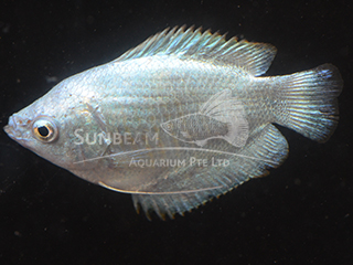 Dwarf Gourami Sky Blue Female